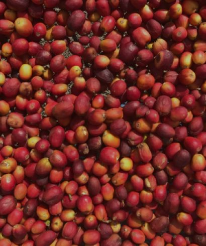 Full ripe coffee cherries